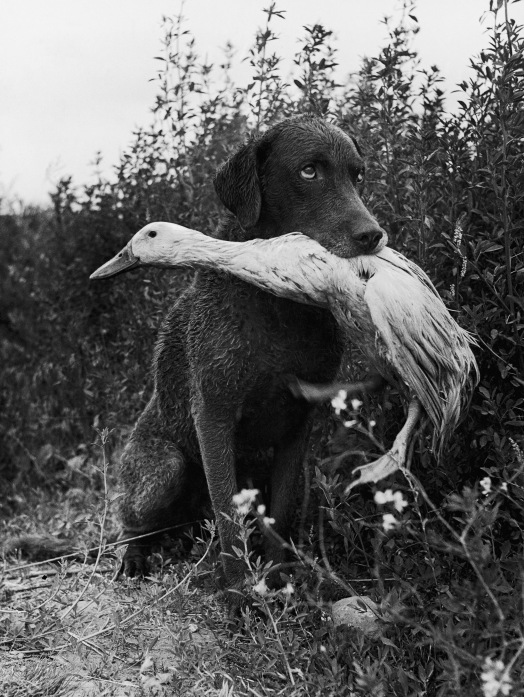 Trigger Holding Donald the Duck, by Loomis Dean, 1949